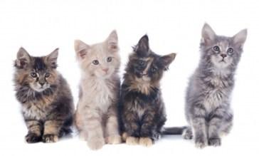 Différentes races de chats Pedigree ou Mongrel Cat? 4