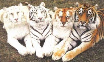 Top 20 des faits amusants sur les tigres 18