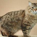 American Bobtail Kittens - Une race rare et géniale 7