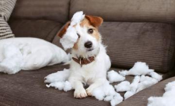 les chiens sont ils coupables