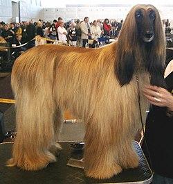 chien afghan