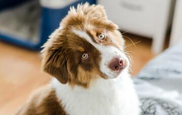 votre chien est il un pleurnichard comment controler les pleurs du chien et laisser vos oreilles se reposer