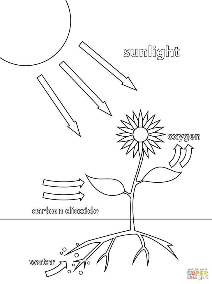 Animals And Flowers: Animal Cell Diagram Coloring Page. Photosynthesis Desktop Animal Cell Diagram Coloring Page Of Answers Smartphone Hd Pics Page Printable