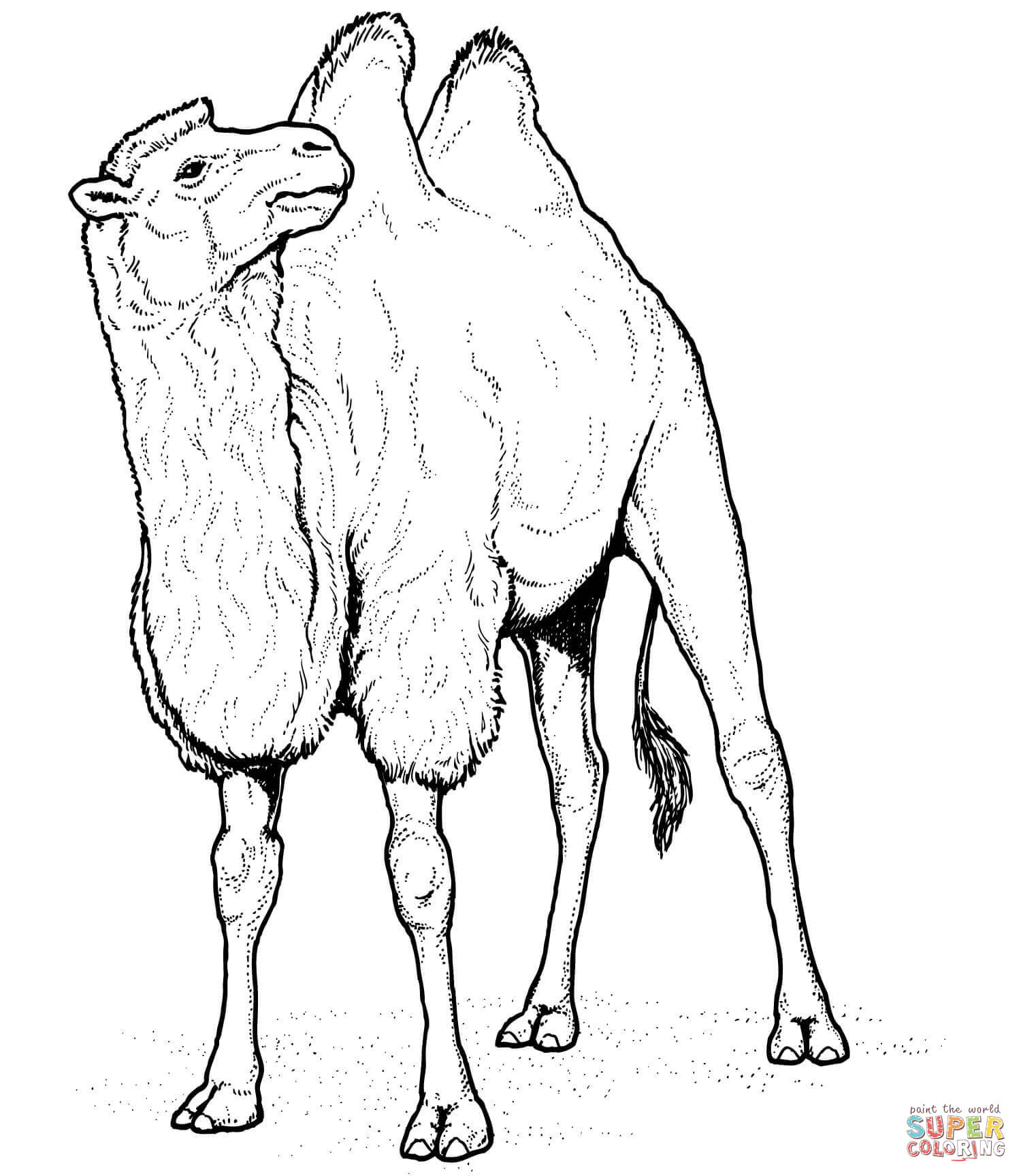 Two Humped Bactrian Camel Coloring Page