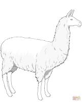 Ausmalbild Einfaches Lama   Ausmalbilder kostenlos zum ...