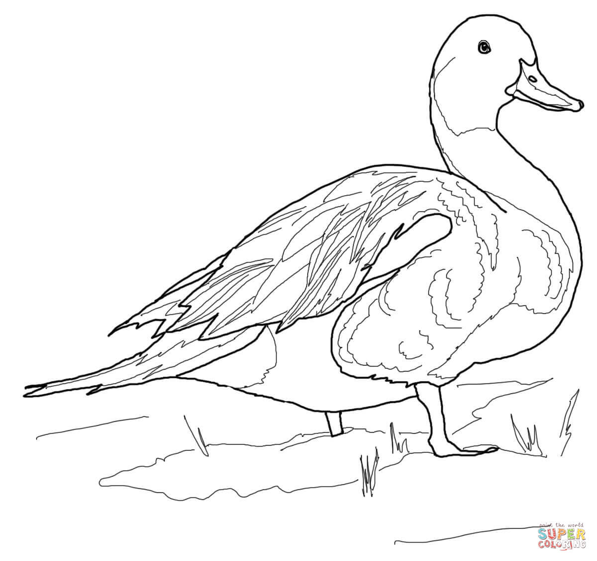 Northern Pintail Duck Coloring Page