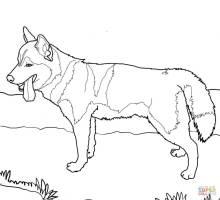 Siberian Husky Dog coloring page   Free Printable Coloring ...