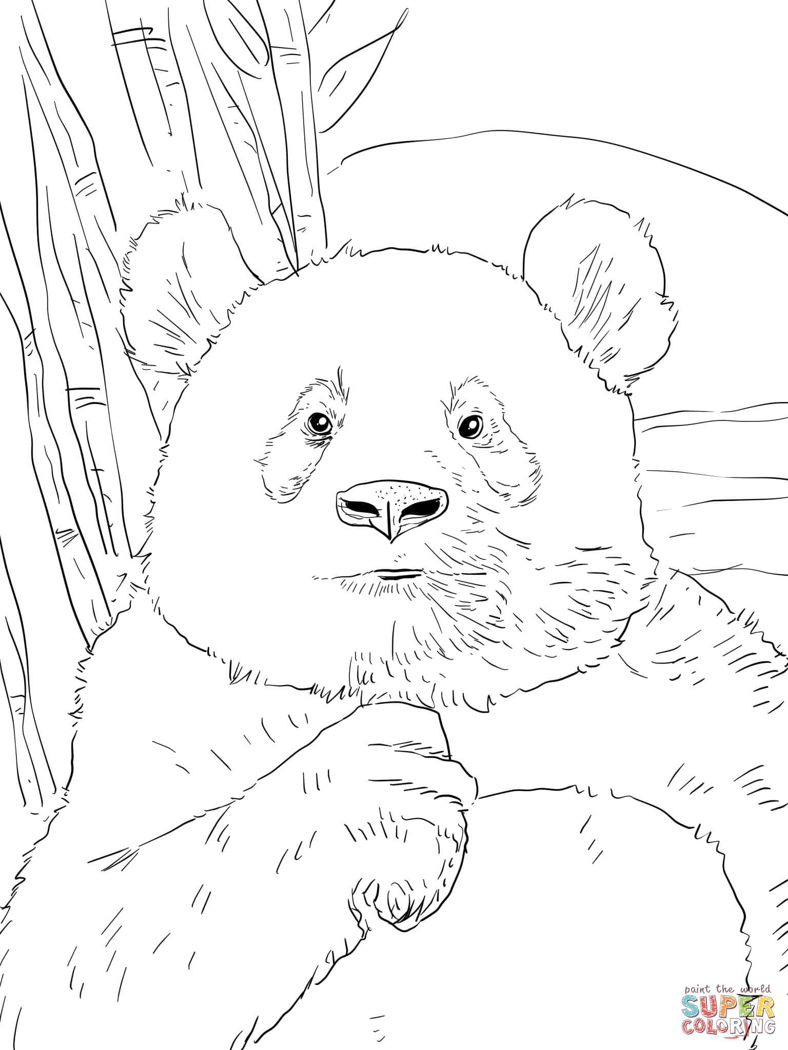 Panda Portr T Tegninger