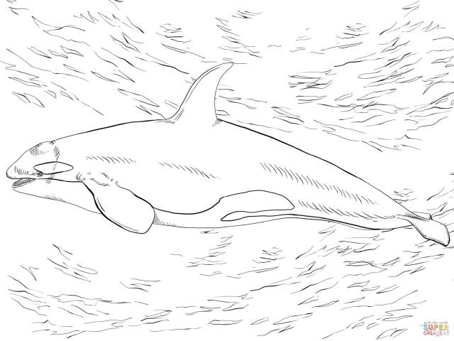 Killer Whale Orca coloring page  Free Printable Coloring Pages
