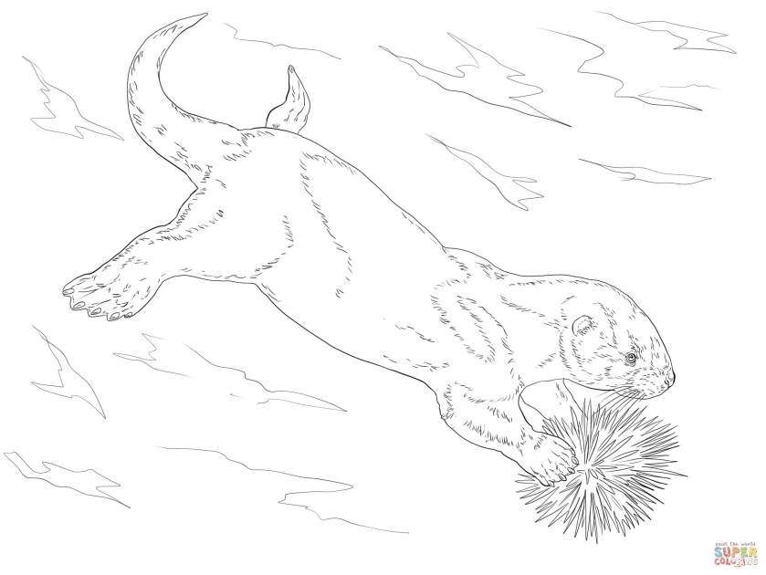 sea otter eating sea urchin coloring page  free printable