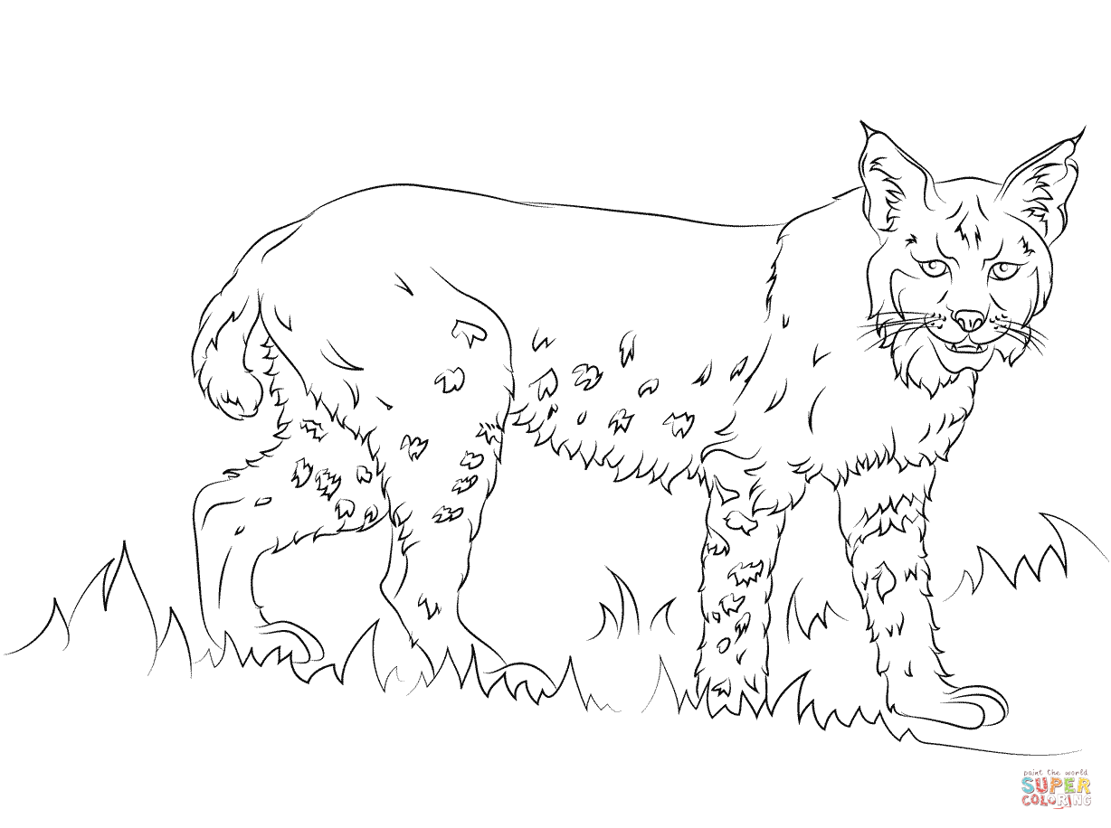 California Bobcat Coloring Page