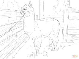 Ausmalbild Realistisches Alpaka   Ausmalbilder kostenlos ...