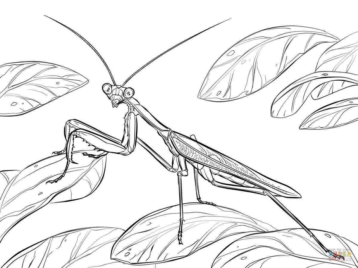 Praying Mantis Coloring Page Sketch Coloring Page