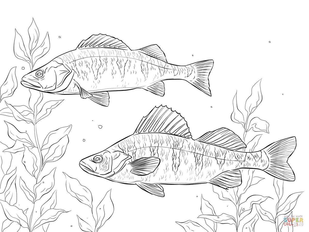 Ausmalbild Amerikanischer Flussbarsch