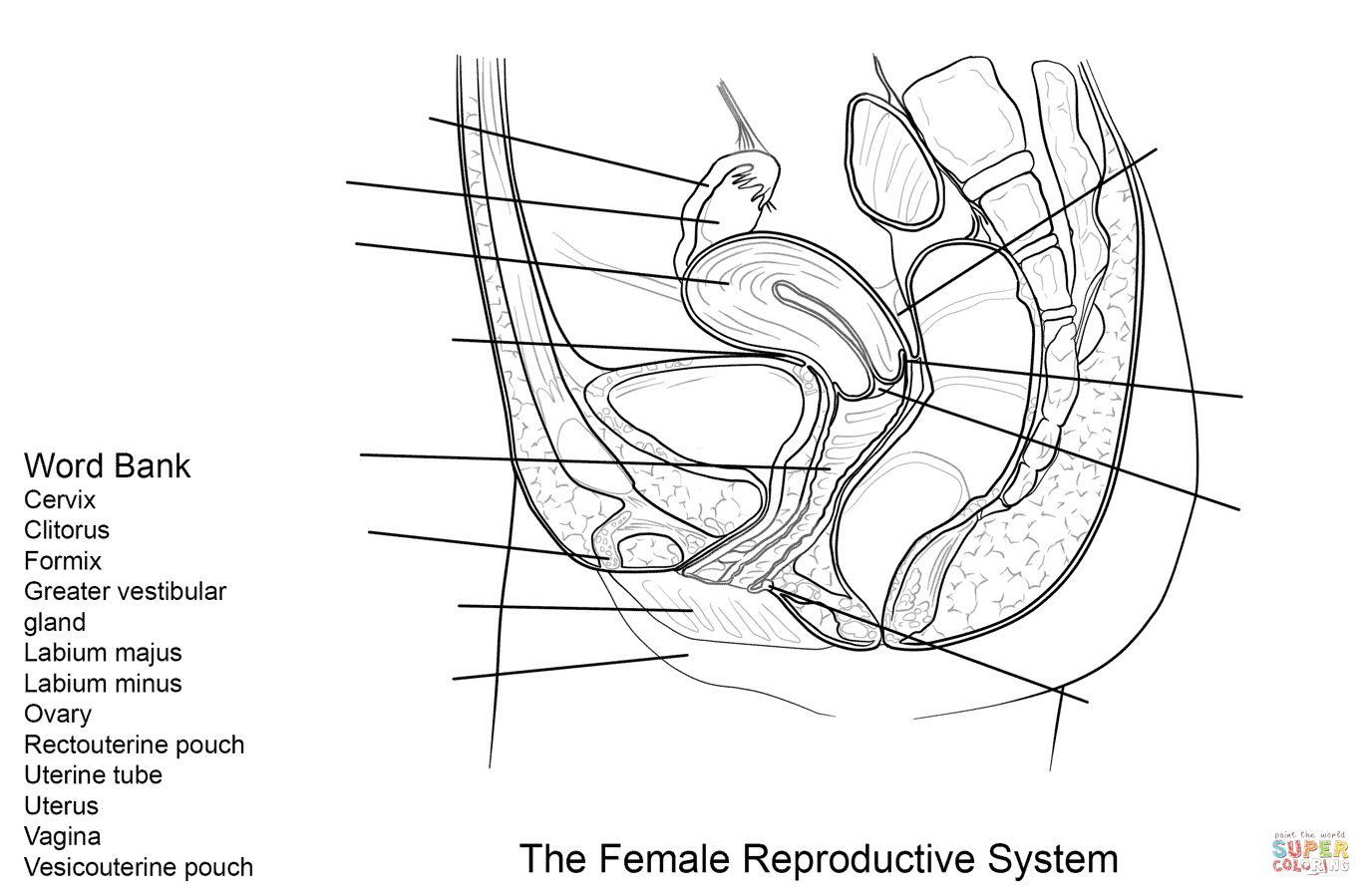 Female Reproductive System Worksheet Coloring Page