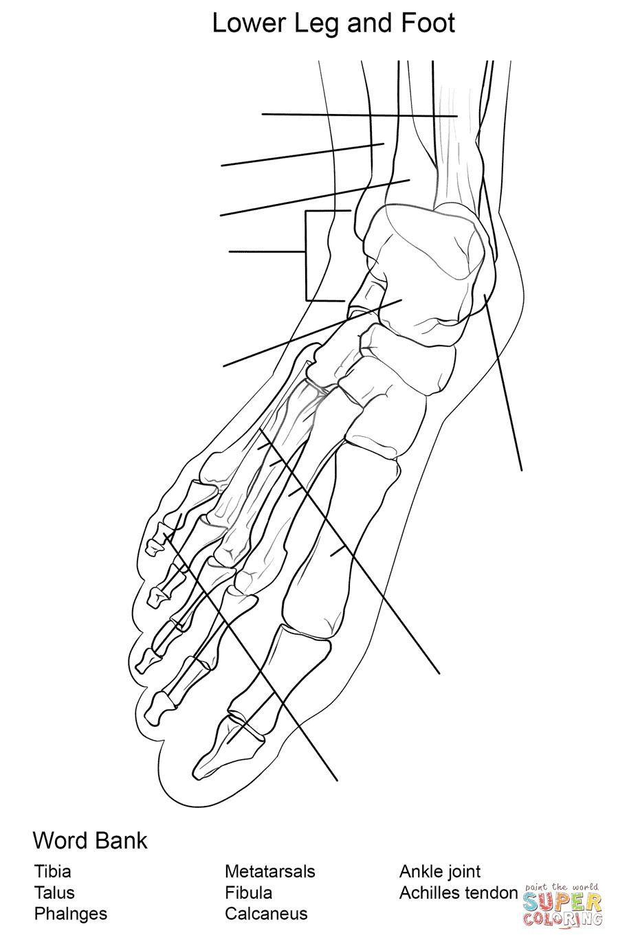 Ausmalbild: Arbeitsblatt, Die Anatomie der Fußknochen