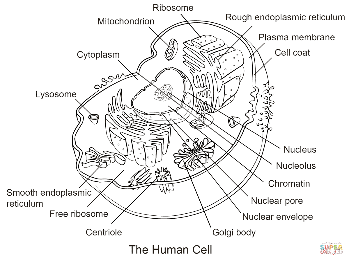 heart diagram quiz games pac sni 35 wiring human cell coloring page | free printable pages