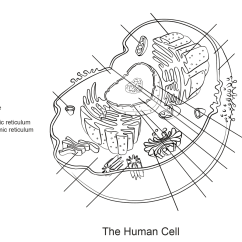 Animal Cell Blank Diagram To Fill In 1985 Corvette Cooling Fan Wiring Dibujo De Ejercicio Células Humanas Para Colorear