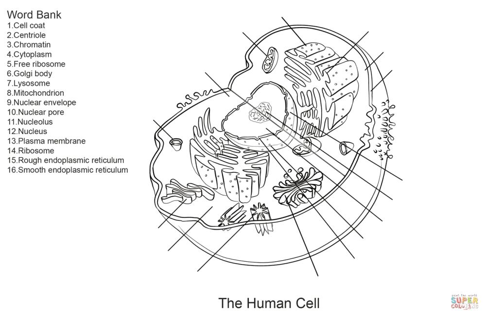 medium resolution of click the human cell worksheet
