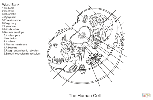 small resolution of click the human cell worksheet