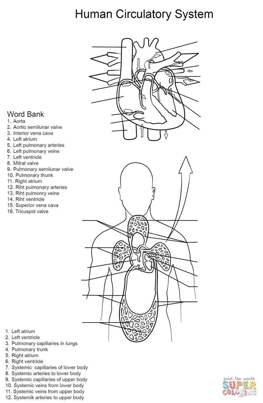 Ausmalbild: Arbeitsblatt, Der menschliche Kreislauf