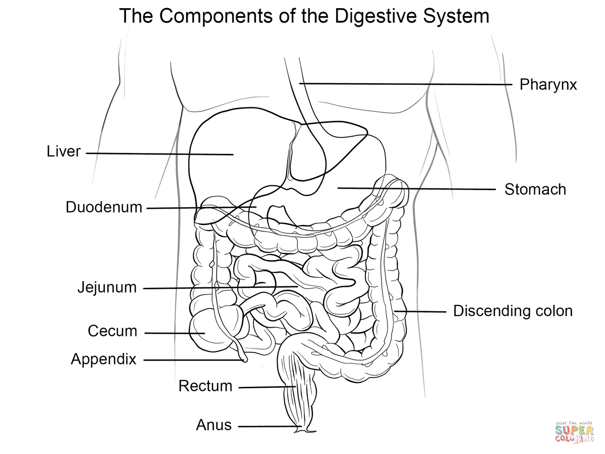 Human Digestive System Coloring Page