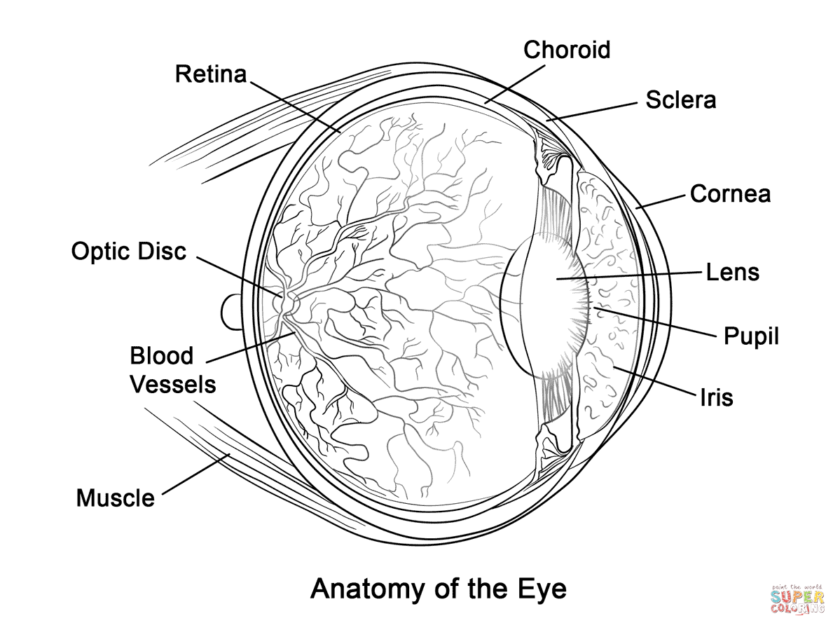 Human Eye Anatomy Coloring Page