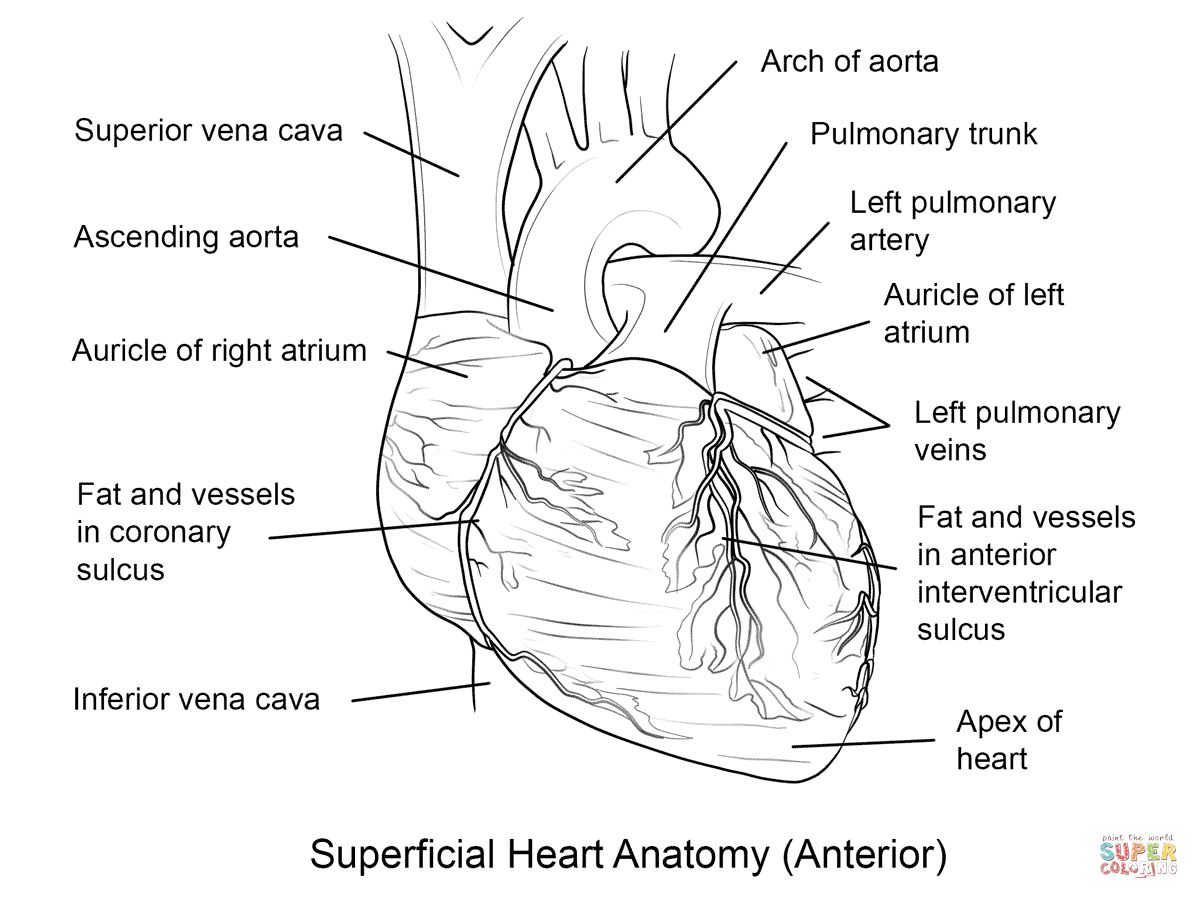 label heart diagram worksheet answers 2003 honda foreman 450 carburetor human coloring page free printable pages