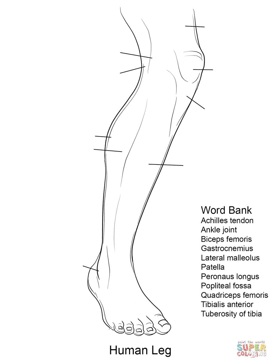 Ausmalbild: Arbeitsblatt, Die Anatomie des Beines