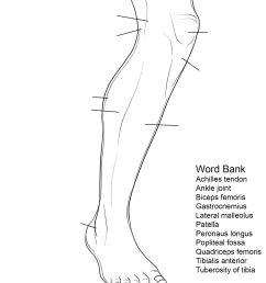 human leg anatomy worksheet [ 899 x 1199 Pixel ]