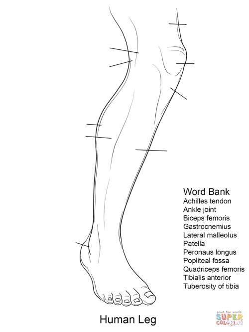 small resolution of human leg anatomy worksheet