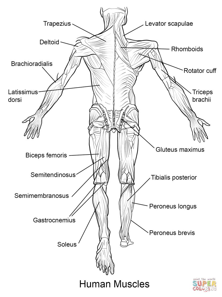 Ausmalbild: Die menschliche Muskulatur, Hinteransicht