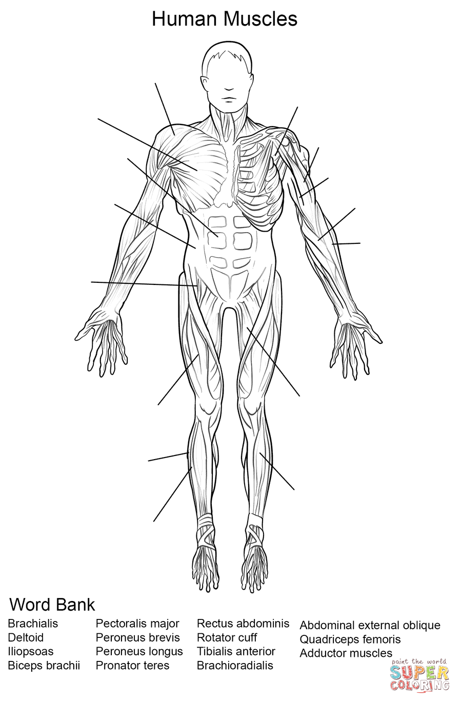 Muscles Human Body Coloring Pages