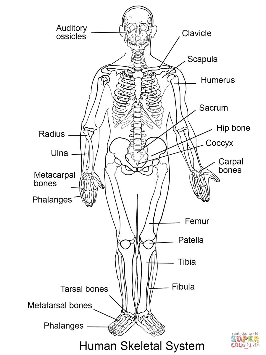 Hum N Skelet L System Col G P Ge Free Pr T Ble Col G P Ges