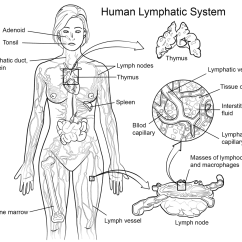 Lymph Circulation Diagram Yamaha Outboard Wiring Lymphatic System Coloring Page Free Printable Pages