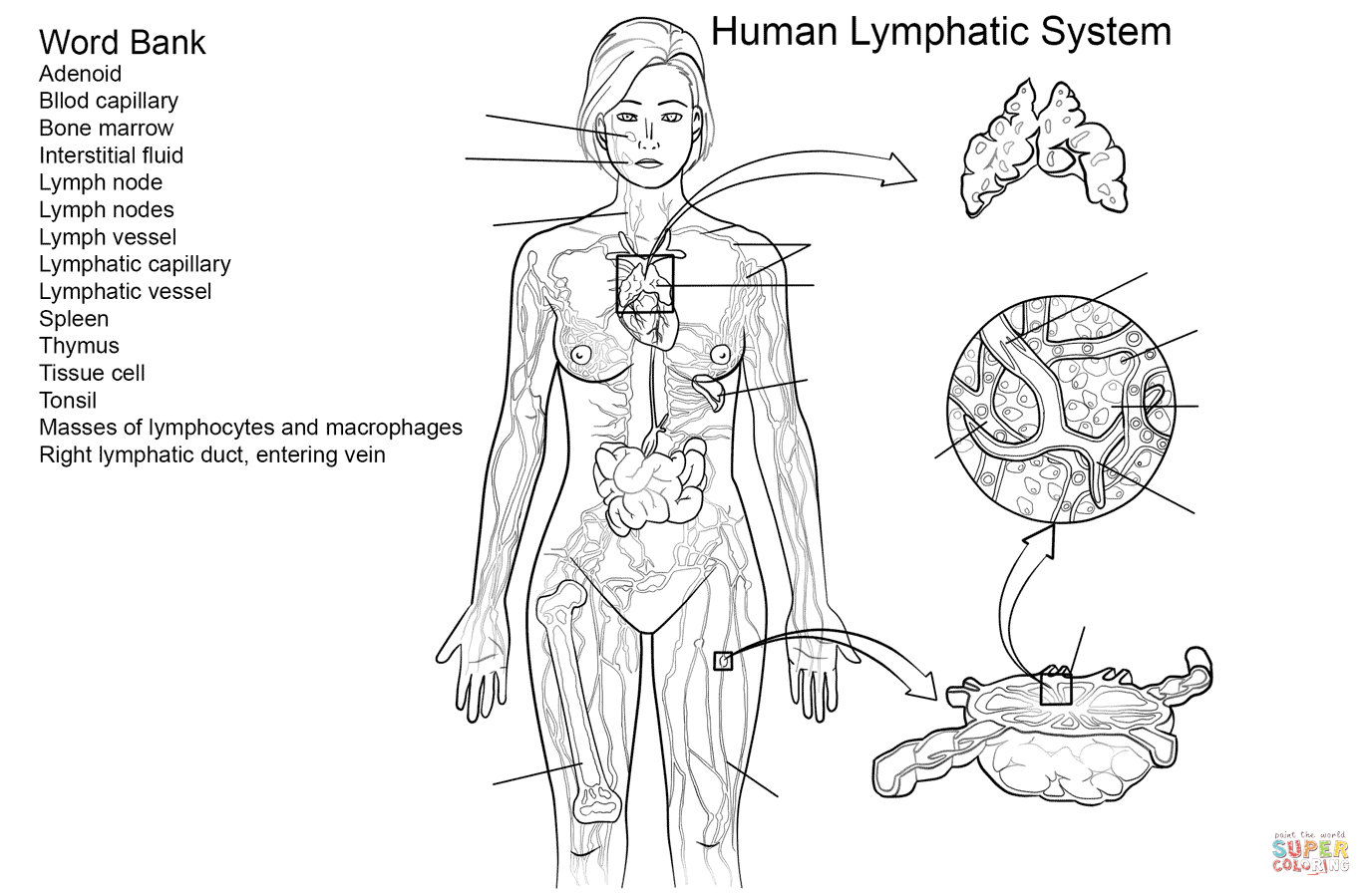Lymphatic System Worksheet Coloring Page