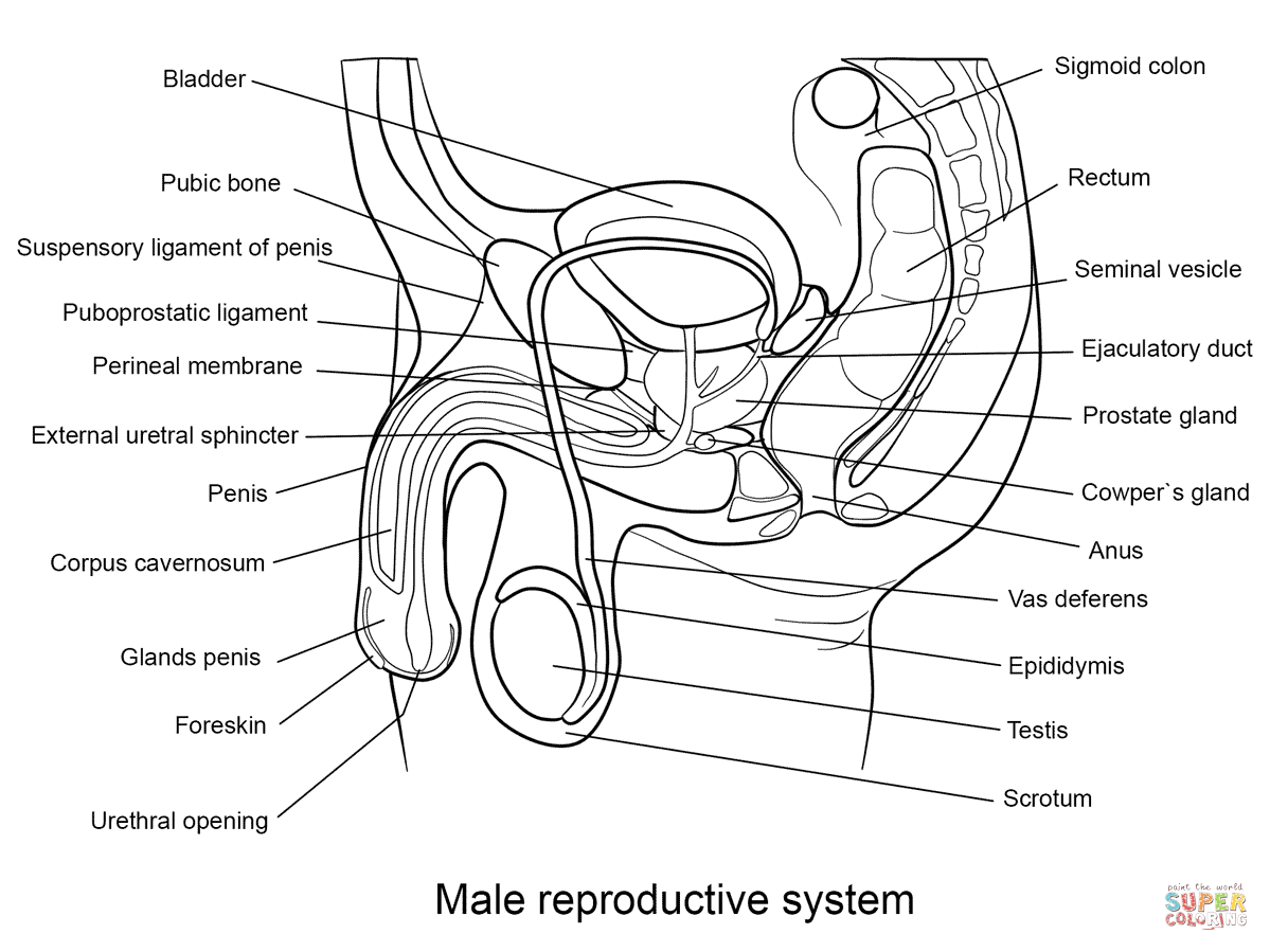 Male Reproductive System Coloring Page