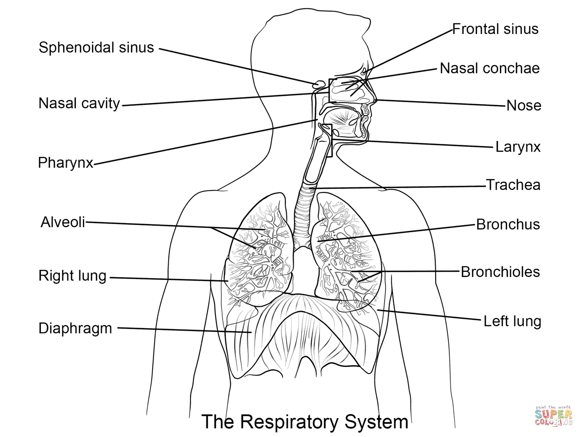 Worksheets Respiratory System Labeling Worksheet Answers