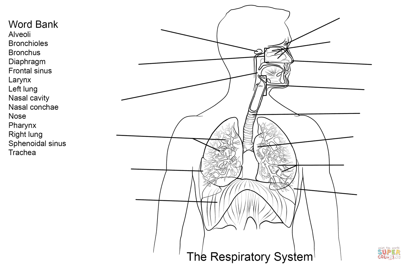 Respiratory System Worksheet Coloring Page