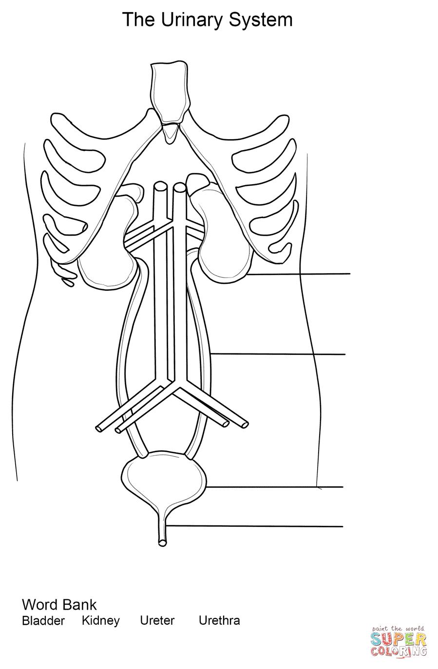 Cardiovascular System Diagram For Dummies