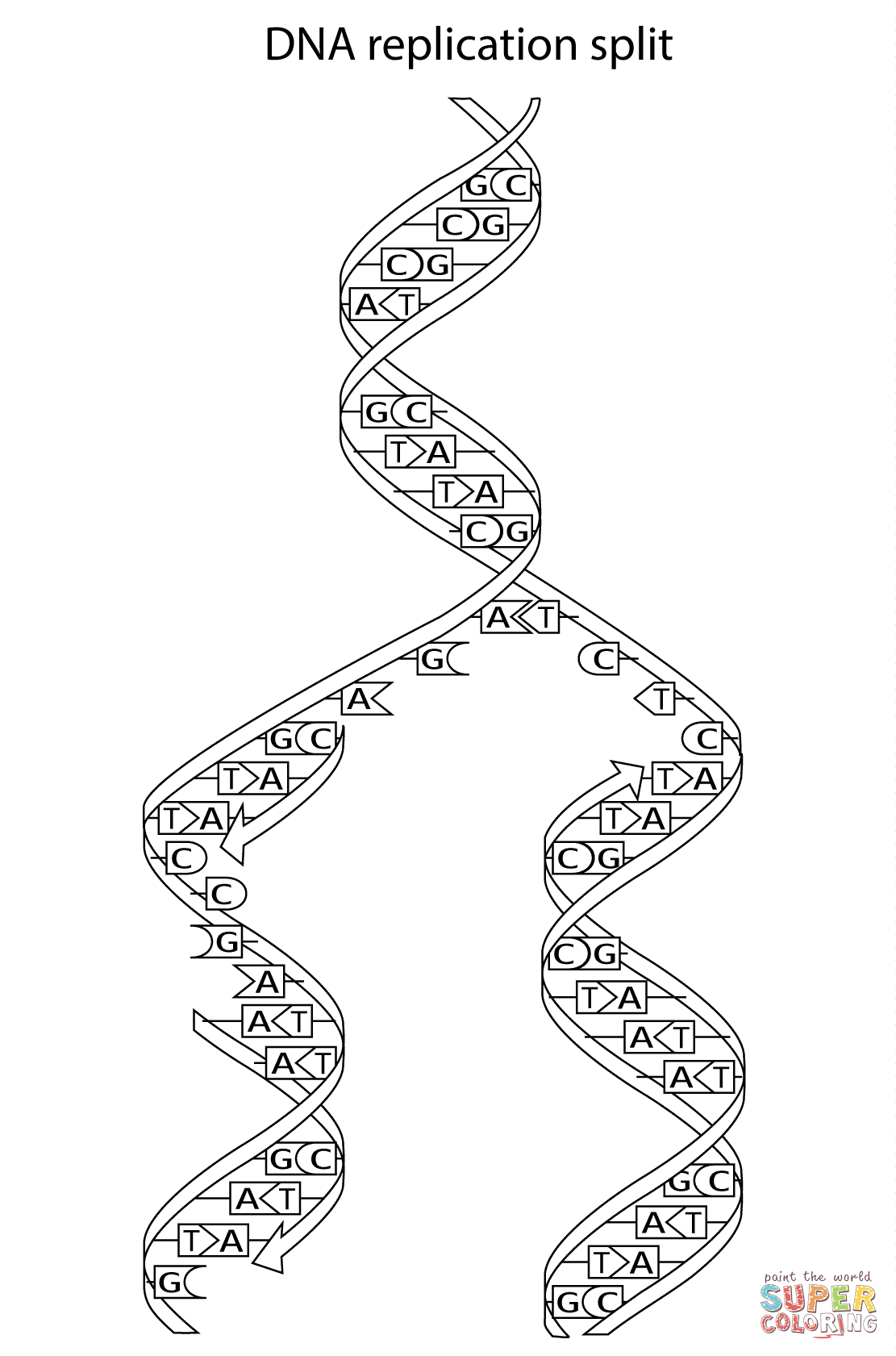 Dna Replication Split Coloring Page
