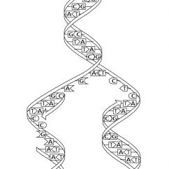 Dna Replication Diagram Worksheet Swm 2 Way Splitter Split Coloring Page Free Printable