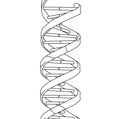 Dna Diagram Worksheet Fluorescent Electronic Ballast Wiring Strand Model Coloring Page Free Printable Pages