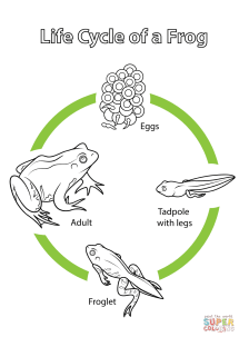 Life Cycle of a Frog coloring page Free Printable