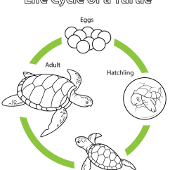 Bird Life Cycle Diagram Match The Letters On Of Human Brain A Turtle Coloring Page Free Printable