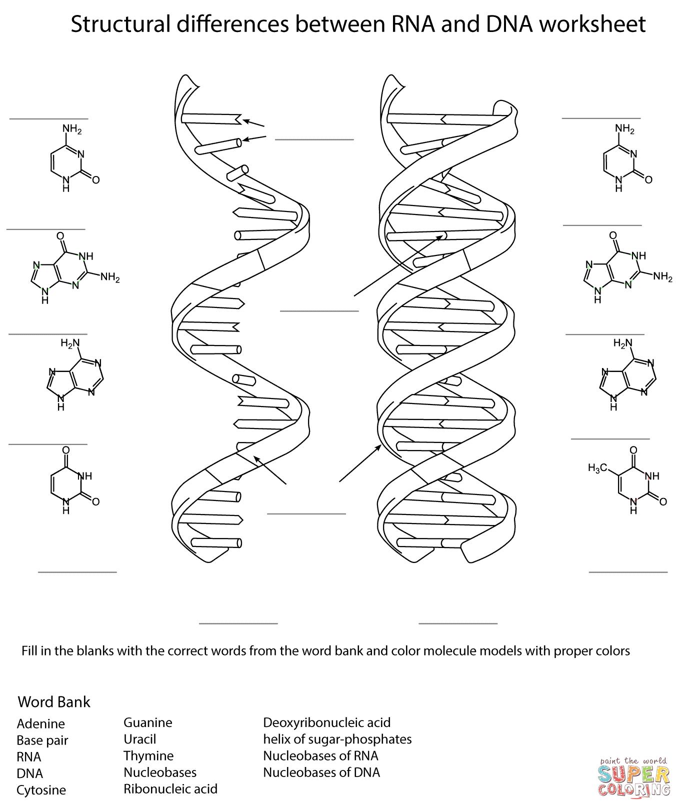 dna replication diagram worksheet human hand bones rna and coloring page free printable
