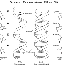 structural differences between rna and dna coloring page [ 1671 x 1486 Pixel ]