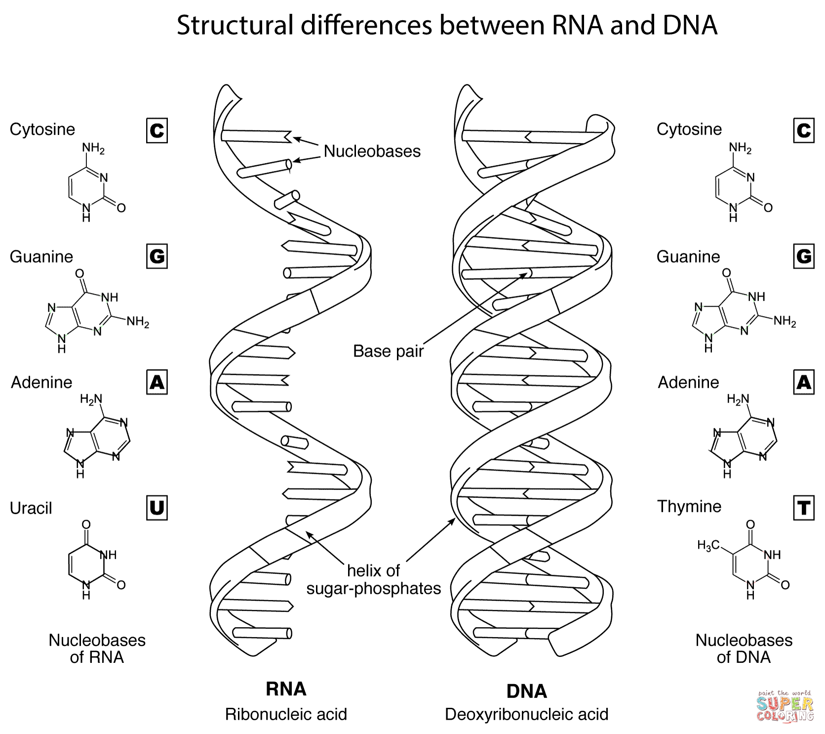 dna diagram worksheet cat arteries and veins structural differences between rna coloring page