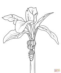 Planta De Platano Para Colorear Dibujo De Platano Para