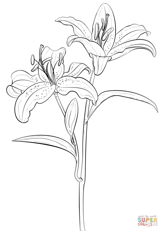 Tiger Lily coloring page  Free Printable Coloring Pages